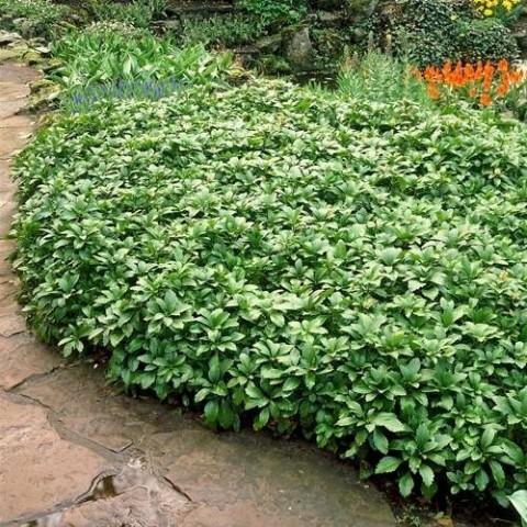 Пахизандра Green Carpet фото
