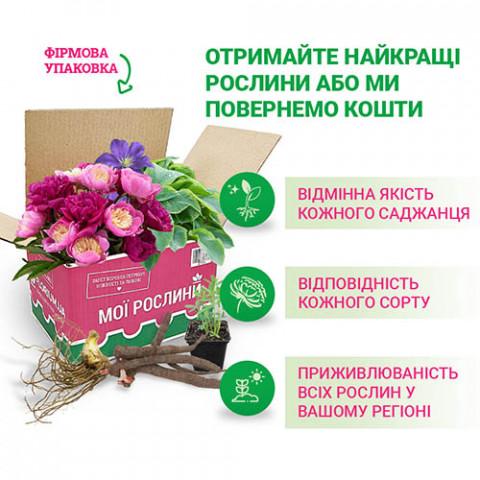 Хоста Fragrant Bouquet фото