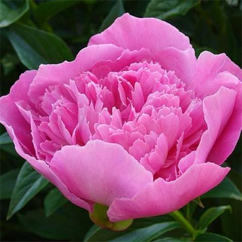 Пион Bouquet Perfect фото