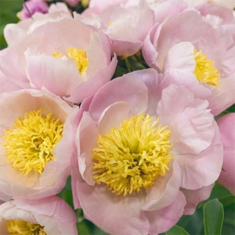 Пион Garden Lace фото
