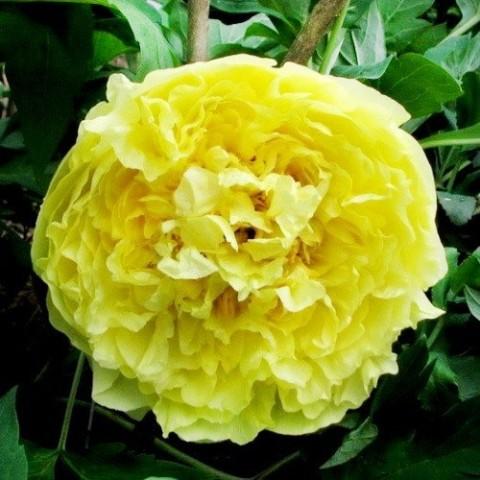 Пион ITOH Yellow Crown фото