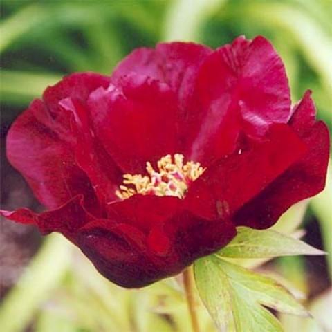 Пион ITOH Sonoma Velvet Ruby фото