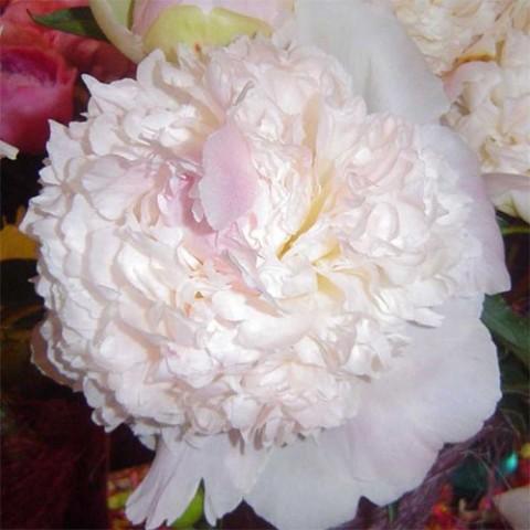 Пион Fairy's Petticoat фото