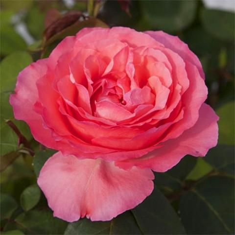 Роза Panthere Rose фото