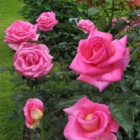 Роза Parfum Royal фото
