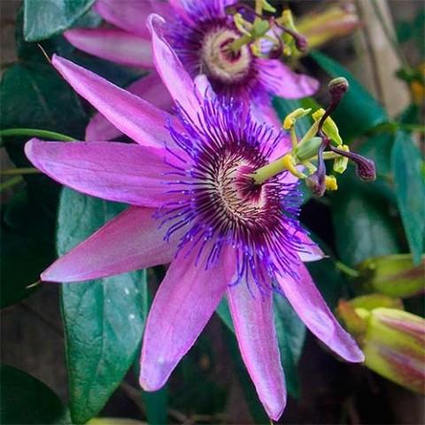 Пассифлора Lavender Lady фото
