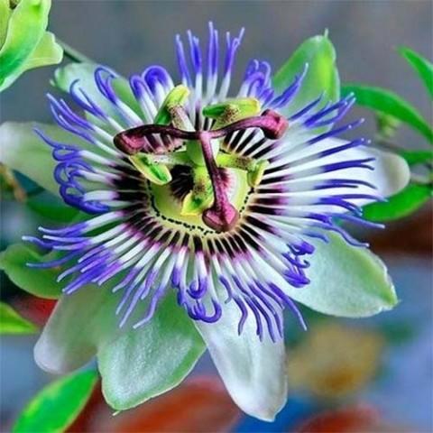 Пассифлора Кавалерийская звезда фото