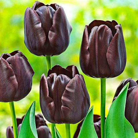 Тюльпан Paul Scherer фото