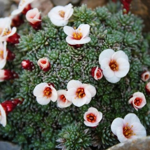 Камнеломка Peach Blossom фото