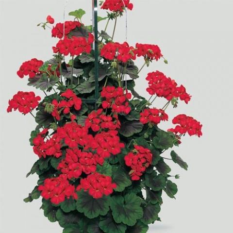 Пеларгония Antik scarlet фото