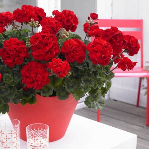 Пеларгония Bernd Красная фото