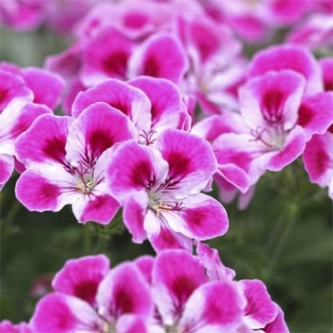 Пеларгония Pinkerbell фото