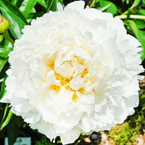 Пион Bowl of Cream фото