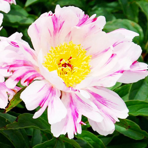 Пион Pink Luau фото