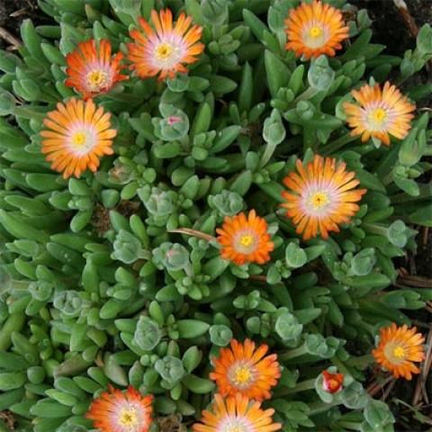 Делосперма Perfect Orange фото
