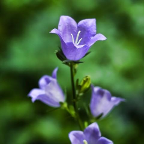 Кампанула Persicifolia фото