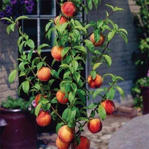 Персик колоновидный Медовый фото