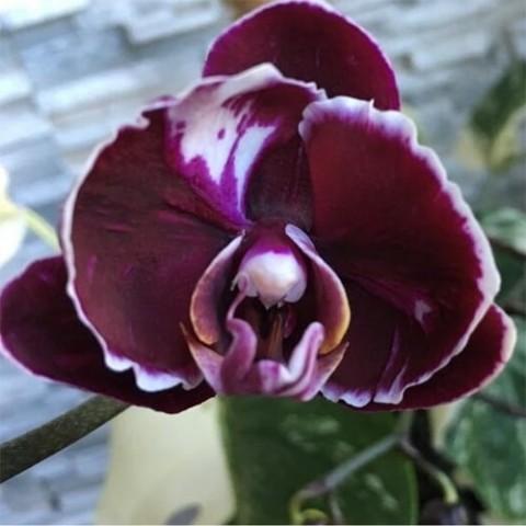 Фаленопсис Каменная роза фото