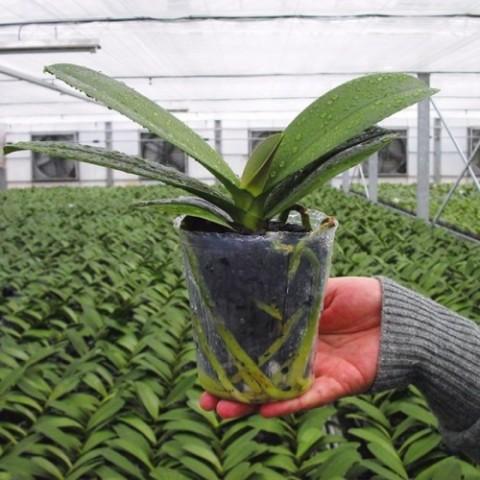 Кора для Орхидей Portugal 3л (8-12 мм)  фото