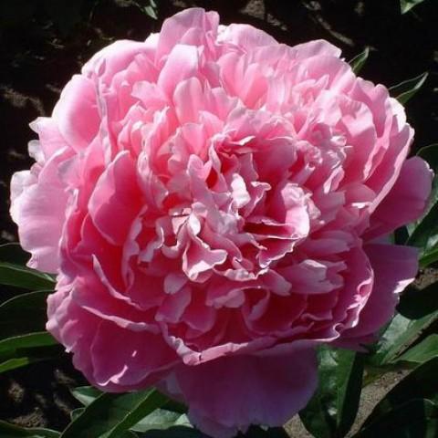 Пион Pink Giant фото