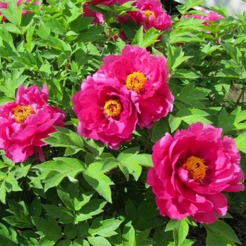 Пион ITOH Pink Ardour фото