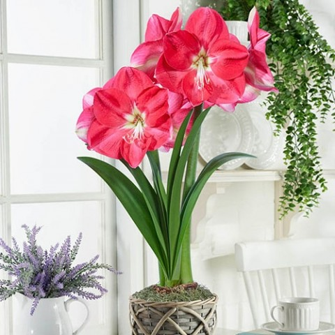 Амариллис Pink Collor фото