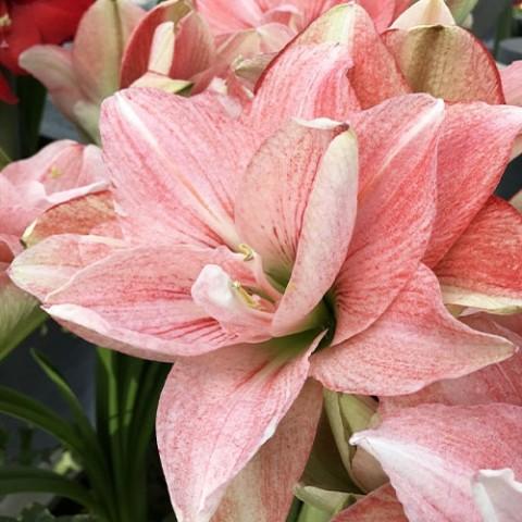 Амариллис Pink Glory фото