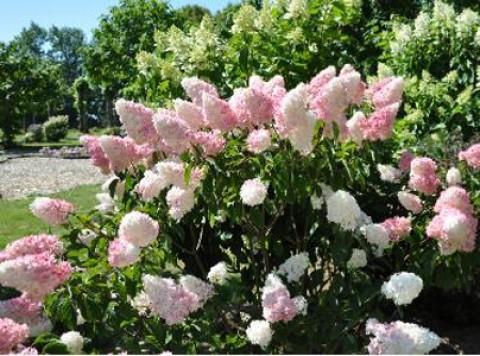 Гортензия Pink Lady фото