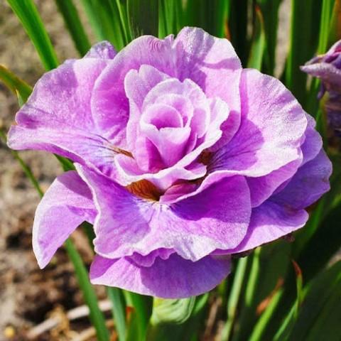 Ирис Sibirica Pink Parfait фото
