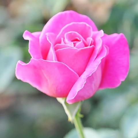 Роза Pink Peace фото
