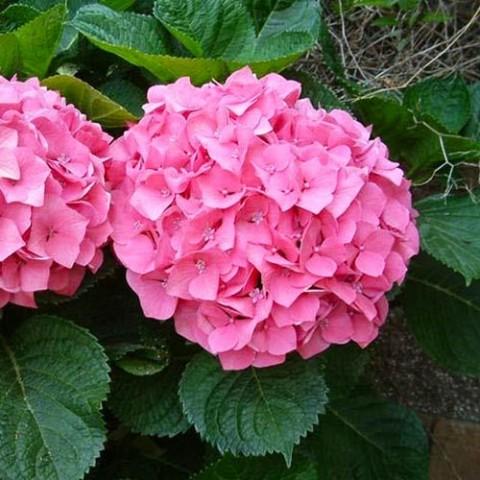 Гортензия Pretty Pink фото