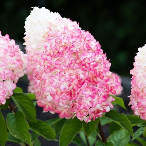 Гортензия Pink Rose фото
