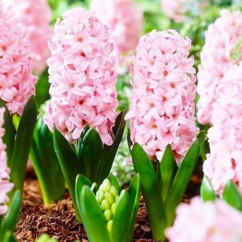 Гиацинт Pink Surprise фото