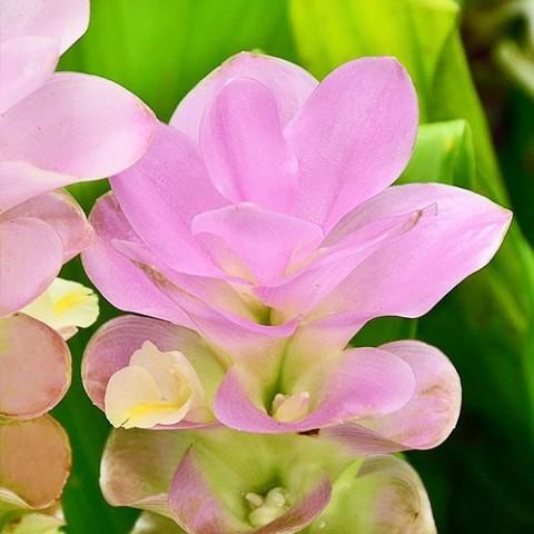 Куркума  Pink Wonder фото