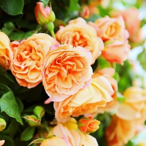 Роза Schoolgirl фото