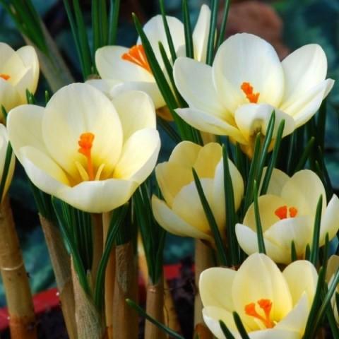 Крокус Cream Beauty 100 шт/уп фото