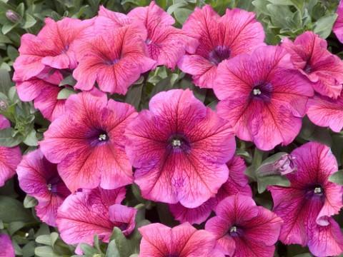 Калибрахоа Lindura Pink фото