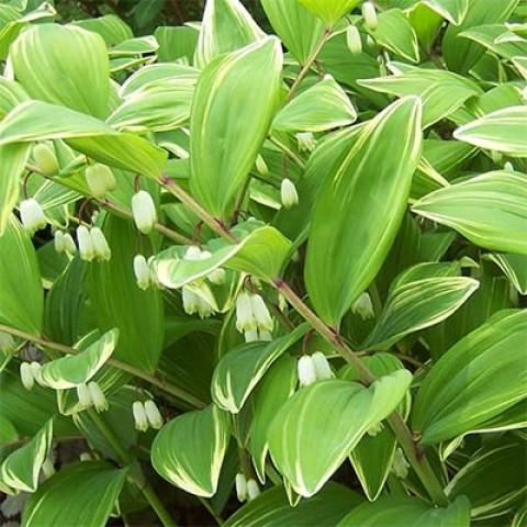 Купена серповидная Variegatum фото
