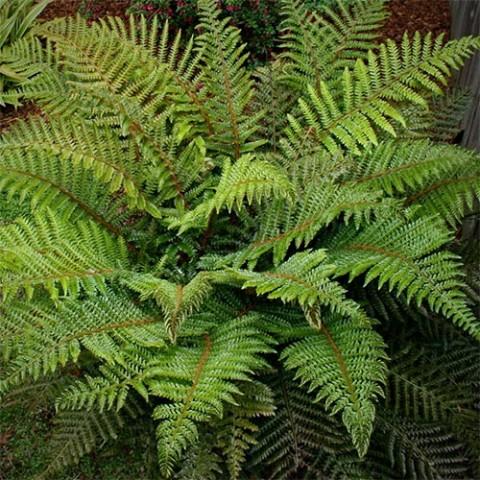 Многорядник Polyblepharum фото