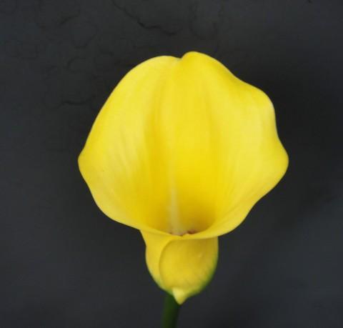 Калла Pot of Gold  фото