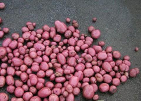 Картофель Courage фото