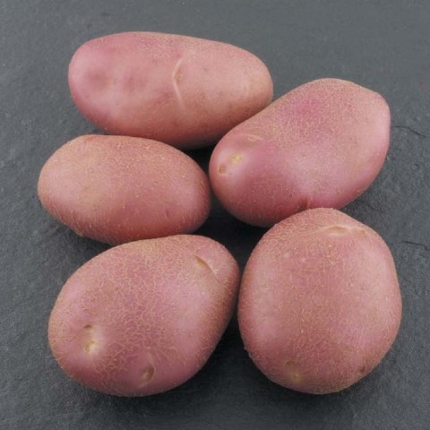 Картофель Мемфис фото