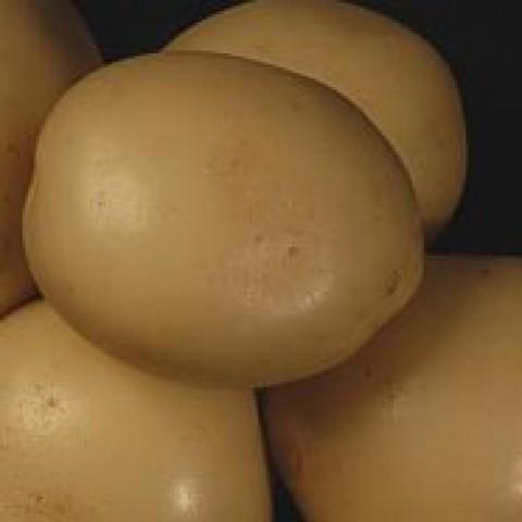 Картофель Сифра фото