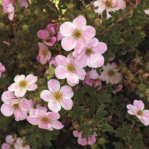 Лапчатка Pink Beauty фото
