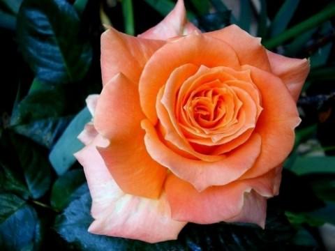 Роза Flora Danica фото