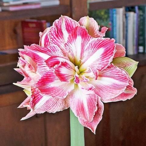 Амариллис Pretty Nymph фото