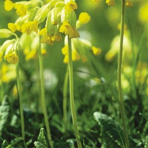 Примула Bright Deep Yellow фото