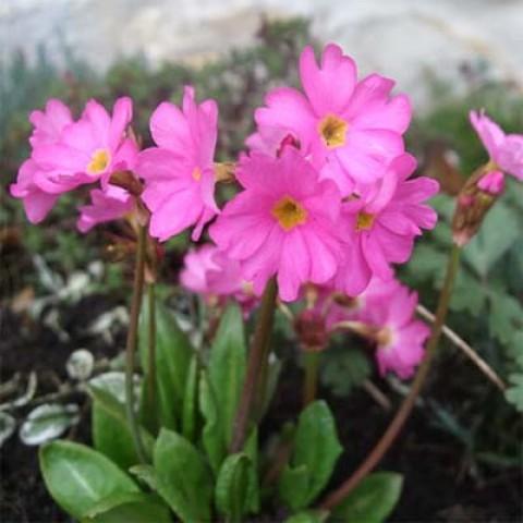 Примула Rosea Grandiflora фото