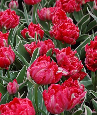 Тюльпан Eternal Flame фото
