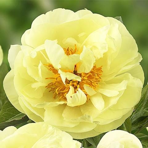 Пион Lemon Chiffon фото